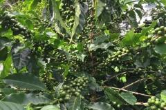 Fruto de Café